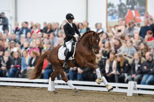 dressage horse producer  selling Dressage horses and Dressage competition horses